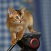 Абиссинские котятки