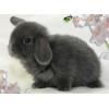 Кролики карликовые вислоухие в Калининграде