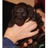 Щенки карликового пуделя, черные и коричневые