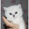 продам британских котят в белоснежных шубках с зелеными глазами