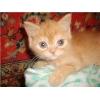 британские   котята прямоушки
