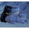 Элитнные британские длинношёрстные котята