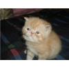 персидские котята короткошерстные