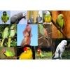 Приму в дар   попугаев- в семью