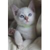 Тайские котята (старосиамские)
