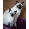 Тайские котята (старосиамские) Мальчики