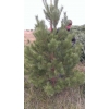 Живые сосны (елки) к новому году оптом