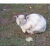 Отдам сиамского кота в  добрые руки