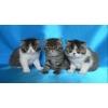 Экзотические котята разных окрасов