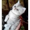 Котята редкого окраса