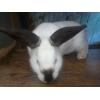 Кролик Калифорнийский, Элитный половозрелый самец с превосходной генетикой!
