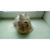 Океаническая раковина Кассис Рогатый