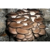 Для выращивания грибов вешенка - комплект!