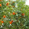 Продажа мандаринового бизнеса в Абхазии