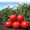 Семена томата АНИТА F1 (KS 829) фирмы Китано