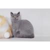 Чистокровные британские котята из питомника Steppe Stars