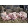 Продается мясо свинина