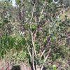 Взрослые кусты голубики высокорослой от 1, 2 до 1, 5 м.